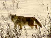 Coyote, Squamish 15