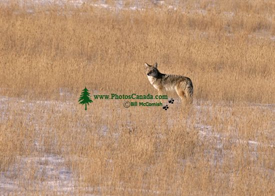Coyote, Banff National Park CM11-10