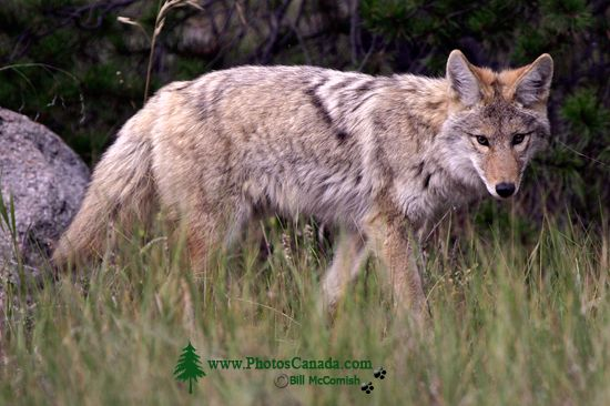 Coyote, Banff National Park CM11-09