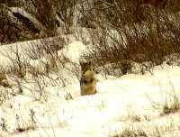 Coyote, Squamish 14