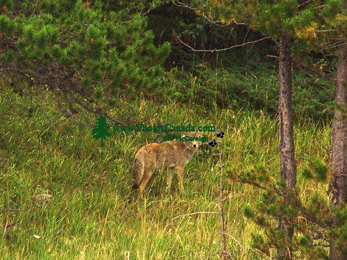 Coyote, Jasper National Park 12