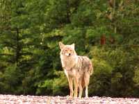 Coyote, Banff National Park 11