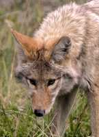 Coyote, Banff National Park CM11-06