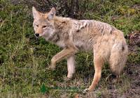 Highlight for Album: Coyote Photos, Canadian Wildlife Stock Photos