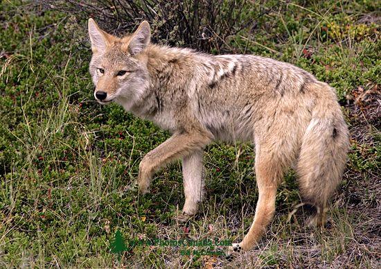 Coyote, Banff National Park CM11-05