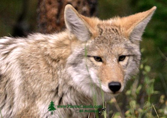 Coyote, Banff National Park CM11-04