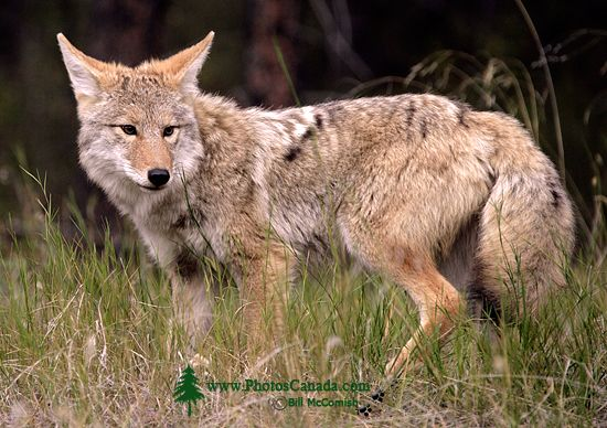 Coyote, Banff National Park CM11-02