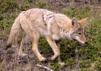 Coyote, Banff National Park CM11-01