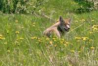 Coyote CM11-16
