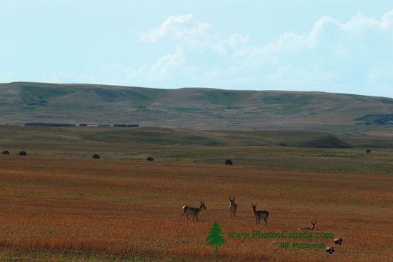 Pronghorn Antelope, Grasslands National Park, Saskatchewan, Canada CMX-001