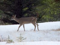 Mule Deer, Banff National Park 15