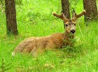 Mule Deer, Banff National Park 09