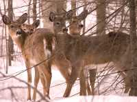 White Tail Deer, Mont Tremblant, Quebec CM11-16