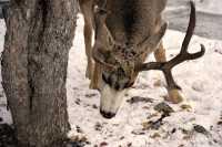 Mule Deer, Banff Park, Canada CM11-27