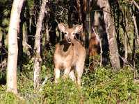 Mule Deer, Kananakis 06