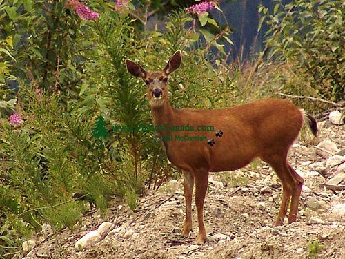 Mule Deer, British Columbia 07