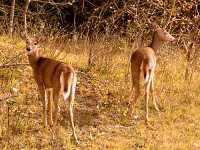 Mule Deer, Manitoba 08