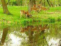 Mule Deer Family, Manitoba 10