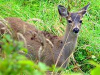Mule Deer, Wells Gray Park, British Columbia 12
