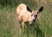 Mule Deer, British Columbia, Canada CM11-24
