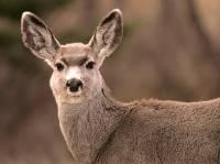 Highlight for Album: Deer Photos, Canadian Wildlife Stock Photos