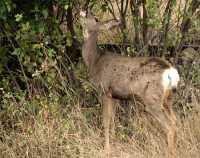 Mule Deer, British Columbia CM11-03