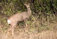 Mule Deer, British Columbia CM11-04