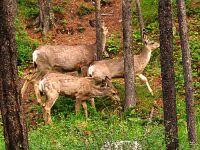 Mule Deer Family, Waterton National Park 14