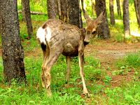 Mule Deer Fawn, Manitoba 11