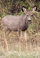 Mule Deer Fawn, British Columbia, CM11-05