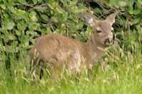 Sitka Deer, Queen Charlotte Islands, British Columbia, Canada CM11-19