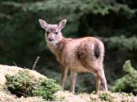 Sitka Deer Fawn, Queen Charlotte Islands, Haida Gwaii, British Columbia, Canada CM11-20