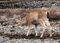 Sitka Deer, Queen Charlotte Islands, Haida Gwaii, British Columbia, Canada CM11-21