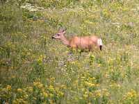 White Tail Deer, British Columbia CM11-17