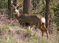 White Tail Deer, Lillooet, British Columbia, Canada CM11-23