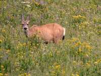 White Tail Deer, British Columbia CM11-18