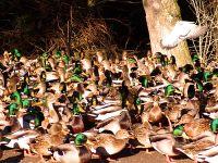 Ducks at Reifel Bird Migratory Sanctuary, British Columbia, Canada 01