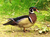 Drake Wood Duck 05