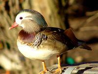Mandarin Duck 06