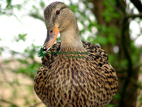 Mottled Duck 08
