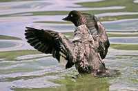 Duck CM11-12