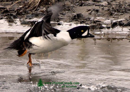 Duck CM11-09