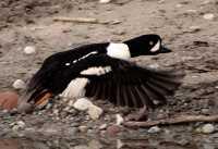 Duck CM11-11