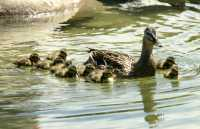 Duck and Ducklings, CM11-12
