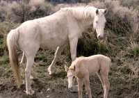 Mare and Foal, Near Lillooet, Broitish Columbia, Canada CM11-44