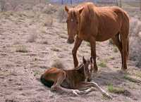 Mare and Foal, Near Lillooet, Broitish Columbia, Canada CM11-43