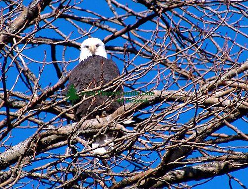 Bald Eagle, Squamish, British Columbia, Canada 18
