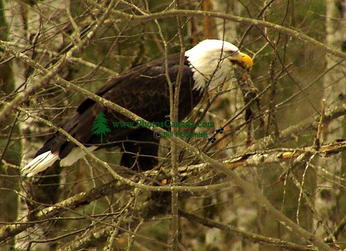 Bald Eagle, Squamish, British Columbia, Canada 17