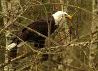 Bald Eagle, Squamish, British Columbia, Canada 17