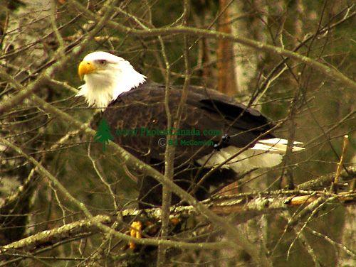 Bald Eagle, Squamish, British Columbia, Canada 16